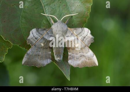 Poplar hawk moth (Laothoe populi) an adult moth on poplar (Popuus) leaf, Devon, May - Stock Photo