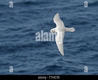 Snow Petrel (Pagodroma nivea) in flight over the southern atlantic ocean off Antarctica. - Stock Photo