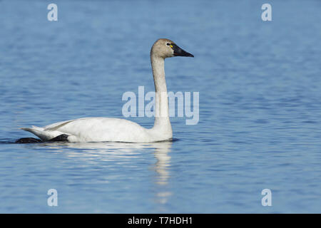 Adult Tundra Swan (Cygnus columbianus) on Seward Peninsula in Alaska, United States. - Stock Photo