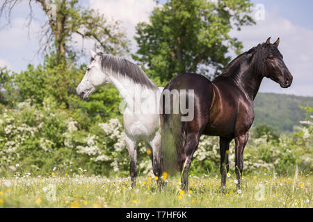 Pure Spanish Horse, Andalusian. Blind gelding and its friend a juvenile black stallion standing on a flowering meadow. Switzerland, - Stock Photo