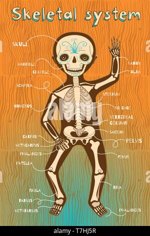 Human skeletal system for kids. Vector color cartoon illustration. Human skeleton scheme. - Stock Photo