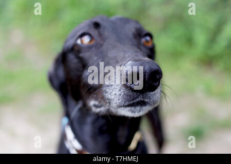 Close up of black greyhound posing for camera - Stock Photo
