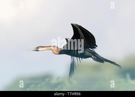 Ethiopia, Rift Valley, Ziway lake, African darter (Anhinga rufa), flying - Stock Photo