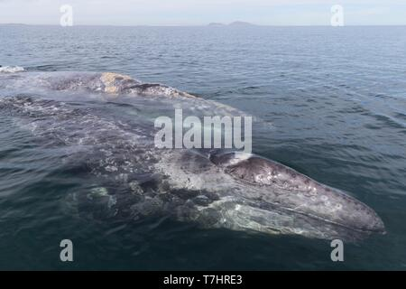 Mexico, Baja California Sur, Puerto San Carlos, Magdalena Bay (Madelaine Bay), Gray Whale (Eschrichtius robustus), mother and baby - Stock Photo