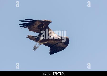 Ethiopia, Rift Valley, Debre Libanos, Hooded Vulture Necrosyrtes monachus), in flight - Stock Photo