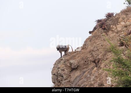 Ethiopia, Rift Valley, Debre Libanos, Gelada or Gelada baboon (Theropithecus gelada), adult male, in the evening at the edge of the cliff before descending to protect against predators during the night - Stock Photo