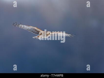 Female Hen Harrier (Circus cyaneus) in flight against a blue background in Limburg, Netherlands. - Stock Photo