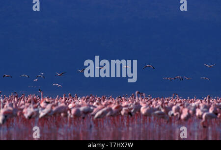 Big flock of Lesser Flamingo's (Phoeniconaias minor) in lake Nakuru national park in Kenya, with birds flying in the background. - Stock Photo