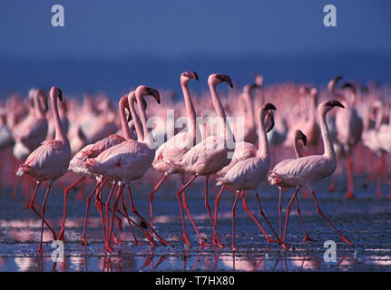 Big flock of Lesser Flamingo's (Phoeniconaias minor) in lake Nakuru national park in Kenya. Small group dancing in formation. - Stock Photo