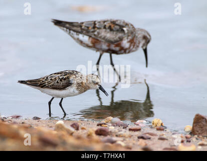 Little Stint (Calidris minuta) adult moulting from summer to winter plumage. Walking in front of a Curlew Sandpiper. Olhao, Portugal. - Stock Photo