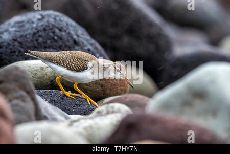 Juvenile Spotted Sandpiper walking on a rocky shore of Low Fields, Corvo, Azores. October 7, 2018.