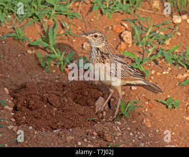 Rufous-naped lark (Mirafra africana) - Stock Photo