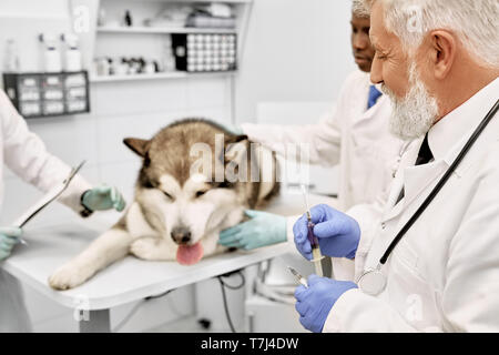 Veterinary doctors preparing for vaccination of big dog. Sad alaskan malamute lying on table in medical cabinet. Elderly doctor wearing in white uniform, blue gloves, holding syringe. - Stock Photo