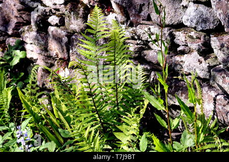 Bracken Fern, Pteridium aquilinum, Most people are familiar with the sight of bracken covering hillsides. It is the only UK large branched fern - Stock Photo