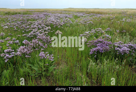 Flowering Sea Lavender in De Slufter, Texel, Netherlands - Stock Photo