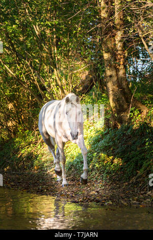 Unicorn (Pure Spanish Horse with attached horn) walking in a forest. Germany - Stock Photo