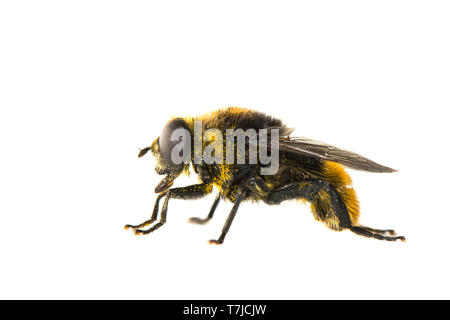Narcissus bulb fly, Merodon equestris - Stock Photo