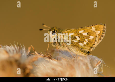 Silver-spotted Skipper, Hesperia comma - Stock Photo