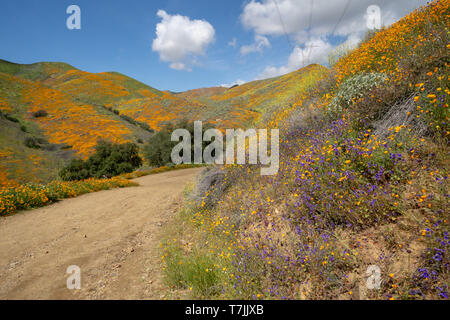 Trail of Walker Canyon during the Poppy wildflower superbloom - Stock Photo