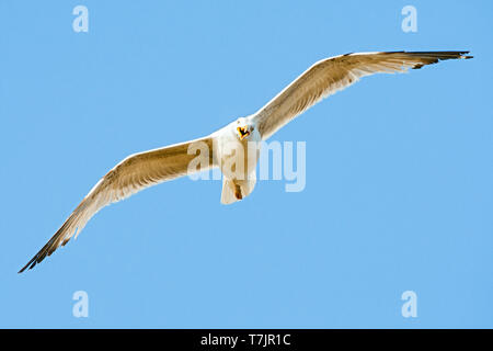 Third-year Yellow-legged Gull (Larus michahellis michahellis) in flight against a bright blue sky on Lesvos, Greece. Seen from below. - Stock Photo