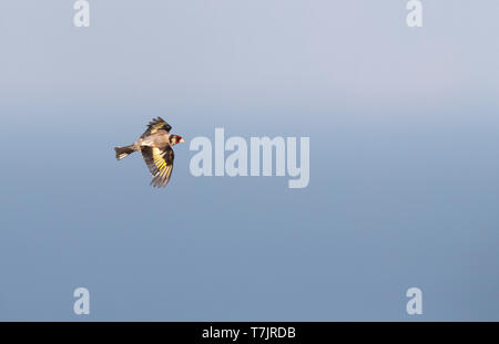 Worn adult European Goldfinch (Carduelis carduelis) in flight over the Bugarian coast at the Black sea. - Stock Photo
