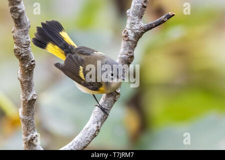 First-winter male American Redstart perched on a fig tree in the gully of the Middle Fields in Corvo, Azores. October 11, 2018. - Stock Photo