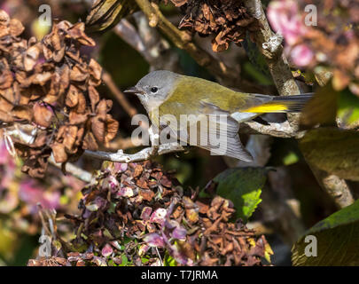 Immature female American Redstart perched on a branch of hydrangea near the lighthouse valley, Corvo, Azores. October 10, 2018. - Stock Photo