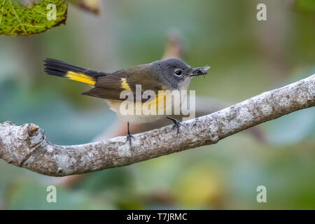 Immature male American Redstart perched on a branch of fig tree in the gully of the Middle Fields, Corvo, Azores. October 11, 2018. - Stock Photo