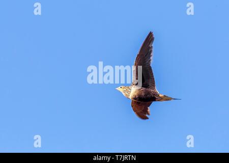 adult female Chestnut-bellied Sandgrouse flying over Sandafa Al Far, Al Minya, Egypt. July 24, 2013. - Stock Photo