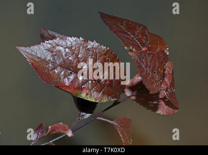 Leaves of prunus cerasifera pissardii close-up - Stock Photo
