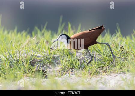 Bostwana, Chobe National Park, Chobe river, African Jacana Actophilornis africanus) - Stock Photo