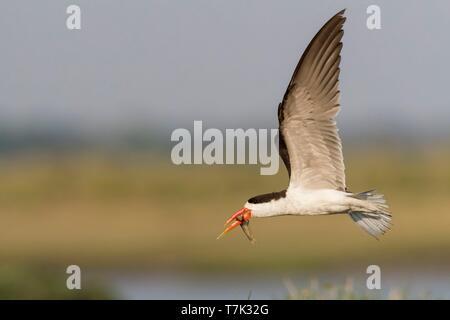 Bostwana, Chobe National Park, Chobe river, African skimmer (Rynchops flavirostris), in flight - Stock Photo