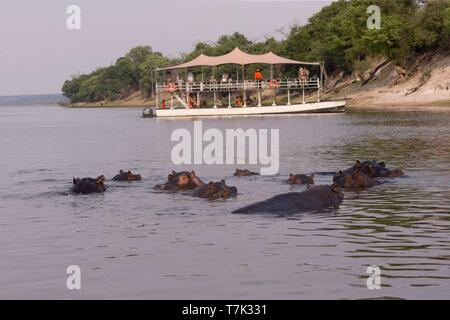Bostwana, Chobe National Park, Chobe river, Common hippopotamus or Hippo (Hippopotamus amphibius), in the water - Stock Photo