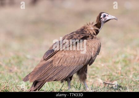 Bostwana, Chobe National Park, Chobe river, Hooded vulture (Necrosyrtes monachus)) - Stock Photo
