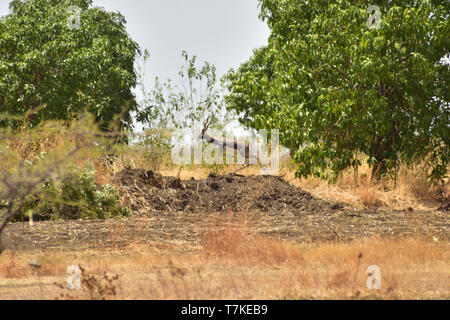 Beed, Maharashtra, India. 3rd May, 2019. Black Buck who had come in search of water seen running away after having it, the Farmers keep some water for Black Bucks, Deers and other wildife to drink in watering holes.Drought hit Khokarmoha entire region and there is absolutely no water for human beings, most of the Farmers have their cattle kept in the Camps till the rains. People depend on Tank water provided by the Gov't to Villages, the water isn't clean and they get it once in 2days while some Villages once in 5 days. Beed, India. Credit: Sandeep Rasal/SOPA Images/ZUMA Wire/Alamy Live News - Stock Photo