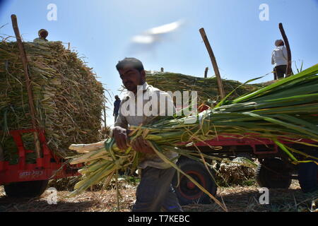 Beed, Maharashtra, India. 3rd May, 2019. A farmer seen carrying Wet Chara for their cattle.Drought hit Khokarmoha entire region and there is absolutely no water for human beings, most of the Farmers have their cattle kept in the Camps till the rains. People depend on Tank water provided by the Gov't to Villages, the water isn't clean and they get it once in 2days while some Villages once in 5 days. Beed, India. Credit: Sandeep Rasal/SOPA Images/ZUMA Wire/Alamy Live News - Stock Photo