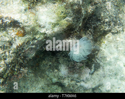 Beautiful coral worm close up in Togian islands, Indonesia - Stock Photo