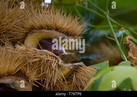 Close up of Castanea sativa, or sweet chestnut. - Stock Photo