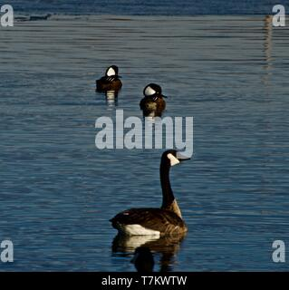 Hooded Merganzer males and Canada Goose, resting on Lindsey City Park Public Fishing Lake, Canyon, Texas. - Stock Photo