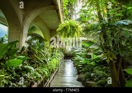 Tropical greenhouse glasshouse sunny interior full of lush green plants. Botanical garden background. Fresh growing indoor decorative plant leaves. - Stock Photo