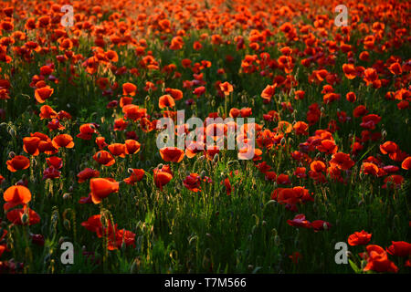 Remembrance Day also known as Poppy or Armistice day. - Stock Photo