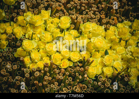 Bamboo and rose flowers with yellow petals on natural background - Stock Photo