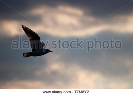 Colorful sky and seagull in the wind, Seagull against the sky - Stock Photo