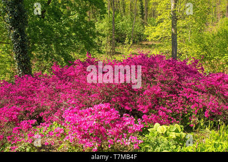 A group of pink azalea bushes growing in partial shade in north east Italy - Stock Photo