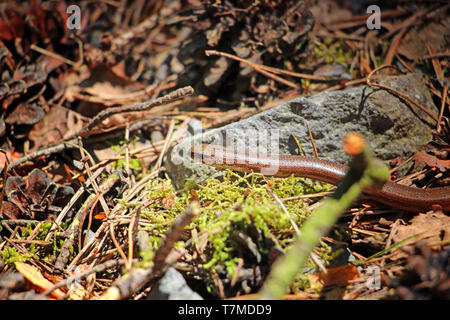 Brown slow-worm blinds in the forest - Stock Photo