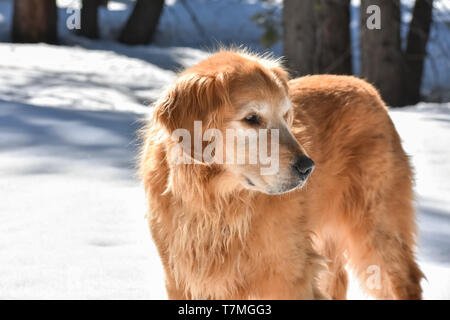 Golden Retriever dog on a winter walk standing in a snowy woods on a sunny day.
