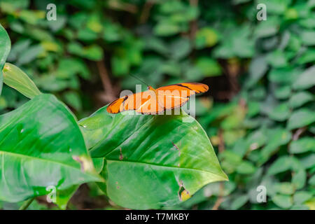 Dryas iulia butterfly, with open wings, on a green leaf - Stock Photo