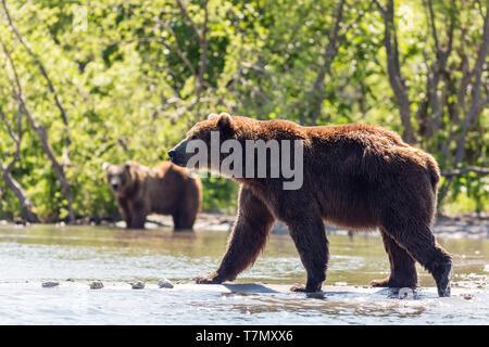 Two Brown bears (Ursus arctos beringianus) fishing in the Kurile lake. Kamchatka, Russia - Stock Photo