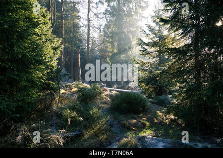 The morning light in the forest. The rays of the sun penetrate the frozen forest in the national Park Harz - Stock Photo