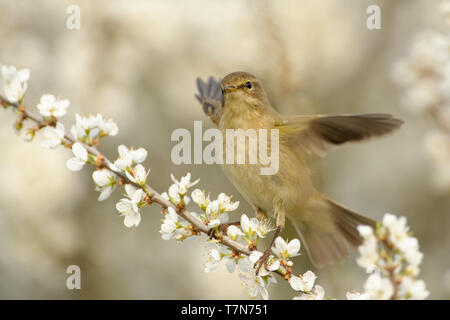 Common Chiffchaff - Phylloscopus collybita widespread leaf warbler which breeds in open woodlands throughout northern and temperate Europe and Asia. - Stock Photo